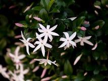 Wild jasmine of southern Africa. Wild elegant jasmine of southern Africa with pink buds on greenery stock photos
