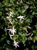 Wild jasmine of southern Africa. Wild elegant jasmine of southern Africa with pink buds on greenery royalty free stock images