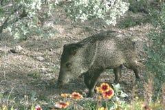 Wild Javalina Hogs. Young wild Javalina pig foraging for food in the desert garden of Arizona Stock Photos