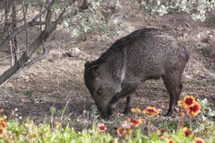 Wild Javalina Pig. Wild Javalina hog foraging for food in the desert gardens of Tucson, Arizona Royalty Free Stock Photography