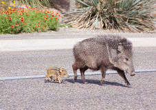 Wild Javelina and Babies Royalty Free Stock Image