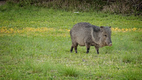 Wild Javelina in Big Bend National Park Texas Royalty Free Stock Image