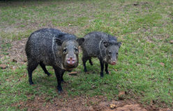 Wild javelinas in a field Stock Photography