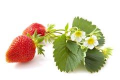 wild jordgubbar Royaltyfri Bild