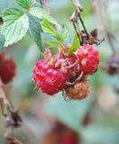 Wild jordgubbar Arkivfoton
