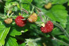 Wild jordgubbar Arkivbild