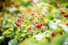 Wild jordgubbar Fotografering för Bildbyråer