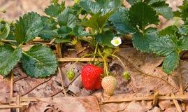 Wild jordgubbar i trädgården. Royaltyfria Foton