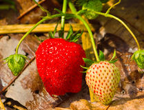 Wild jordgubbar i trädgården. Arkivbild