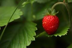 wild jordgubbe Arkivfoton
