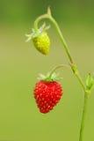 wild jordgubbe Royaltyfri Bild