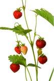 wild jordgubbe Arkivfoto