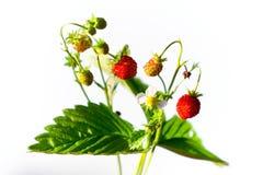wild jordgubbe Arkivbilder