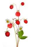 Wild jordgubbe med bär och blommor som isoleras på vit Arkivfoto