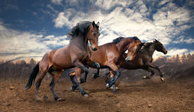 Wild jump bay horses. In the wilderness stock images