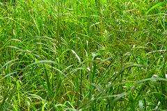 Wild Jungle Grass. Grows long and tall in an African jungle Stock Photography