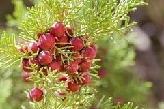 Wild juniper berry. In Dana National reserve in Jordan Stock Image