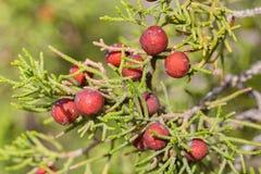 Wild juniper berry. In Dana National reserve in Jordan Stock Images