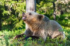 Wild Juvenile Brown bear. (Ursus Arctos Arctos) grinned, showing fangs and teeth. In the summer forest. Natural green Background stock photography