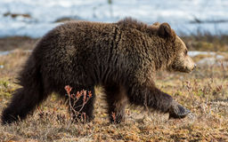 Wild Juvenile Brown Bear Ursus arctos. On a bog in spring forest Stock Photo