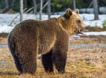 Wild Juvenile Brown Bear Ursus arctos. On a bog in spring forest Royalty Free Stock Images