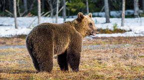 Wild Juvenile Brown Bear Ursus arctos. On a bog in spring forest Royalty Free Stock Photos