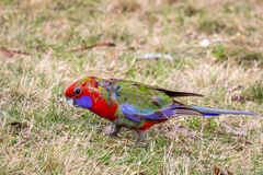 Wild Juvenile Crimson Rosella, Mount Macedon, Victoria, Australia, September 2017. Portrait of a Wild Juvenile Crimson Rosella sitting in a tree, Mount Macedon stock images