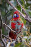Wild Juvenile Crimson Rosella, Mount Macedon, Victoria, Australia, September 2017. Portrait of a Wild Juvenile Crimson Rosella sitting in a tree, Mount Macedon stock photo