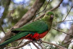 Wild Juvenile King Parrot, Queen Mary Falls, Queensland, Australia, March 2018. Juvenile King Parrot, Queen Mary Falls, Queensland, Australia, March 2018 perched stock photos