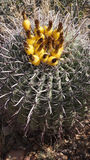 Wild kaktus Royaltyfri Bild