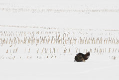 wild kalkon Arkivbilder