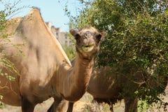 wild kamel Royaltyfria Bilder