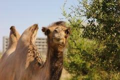 wild kamel Arkivbild
