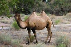 wild kamel Arkivbilder