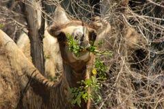 wild kamel Arkivfoton