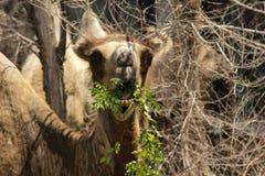 wild kamel Royaltyfri Fotografi