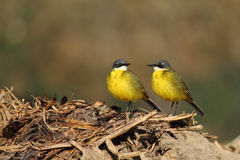 Wild kanariefågel arkivbild