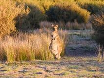 Wild kangaroo in Australia royalty free stock photography