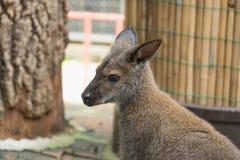 Wild kangaroo Stock Images