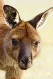 Wild Kangaroo in a Closeup Portrait Royalty Free Stock Photography
