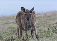 Wild Kangaroo at Deep Creek Conservation Park Stock Photo