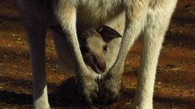 Wild Kangaroo Joey Peaks out of Mother`s Pouch. Wild kangaroo joey in the outback peaks out of his mother`s pouch Stock Images