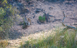 Wild Kangaroo by the Murchison River royalty free stock image