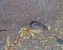Wild Kangaroo Rat Royalty Free Stock Photos