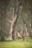 Wild kangaroos in the Bush Royalty Free Stock Photos