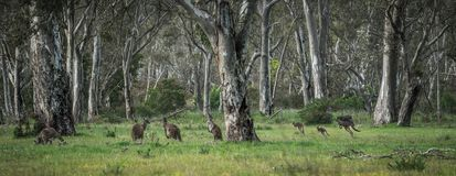 Wild kangaroos in the Bush Stock Photo