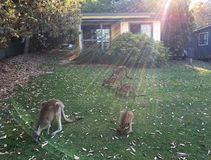 Wild Kangaroos feeding fresh green grass in front of human house near sunset