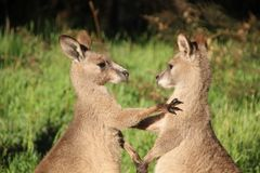 Wild kangaroos in the grass, playing stock photos