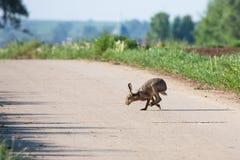 wild kanin Arkivfoto