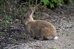 wild kanin Arkivbilder